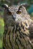 Great Horned Owl at Sea World San Diego. The great horned owl is probably best known for the large tufts of feathers on its head that look like horns. It has big cat-like eyes and brown white, gray, and black markings that look like the bark of a tree. These markings help camouflage it in the woods. It has a wing span of over four feet and it is about two feet in height. I was about 35 feet away when I took this shot with the Panasonic FZ-30 hand held.